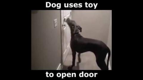 Smart Dog Opens Door