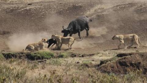 Buffalo Herd Saves Calf From Lion Attack