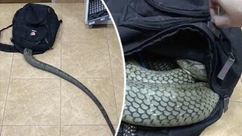 [SCARY] Snake Goes Into Man's Bag
