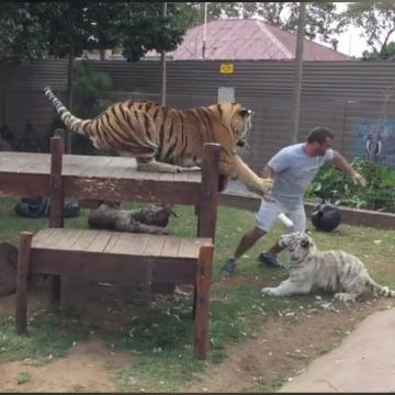 Tiger Attack! Never Turn Your Back On A Tiger!