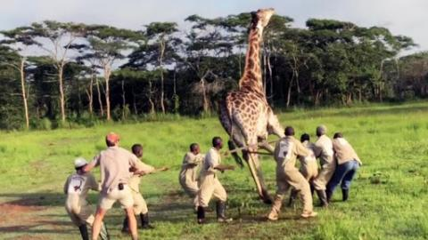 Giraffe In Congo Is Saved And Freed From Metal Wire