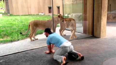 [FUNNY] Man Plays With Lions At The Zoo