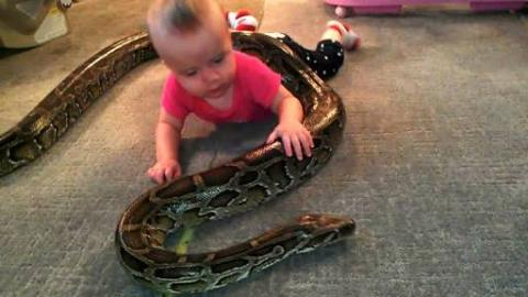 13-foot Burmese Python Wraps Self Around Baby
