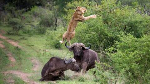 Buffalo Throws Lion into Air to Save His Friend