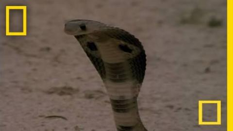 Face Off Between Cobra vs. Mongoose