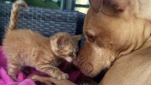 Rescued Pit Bull Treats 'Little Sister' Kitten Like A Princess