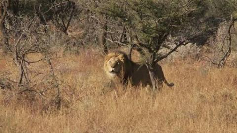 Horrific Lion Attack.. Man Eater