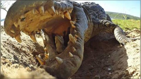 Crocodile Mom Scoops Up Babies in Mouth