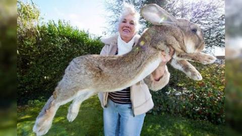 World's Biggest Rabbit