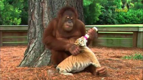 Affable Orangutan Babysits Tiger Cubs