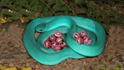Amazing Blue Snake Laying Eggs And Giving Birth