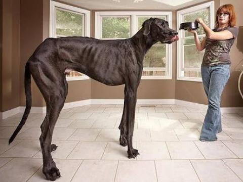 Video: World's Tallest Dog