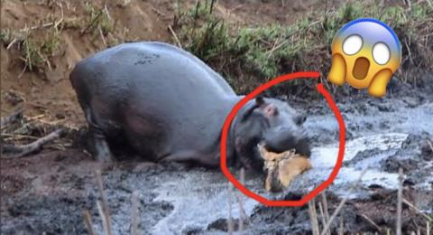 Angry Hippo Saves Then Crushes an Antelope