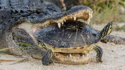 Amazing Alligator Attempting To Eat A Turtle